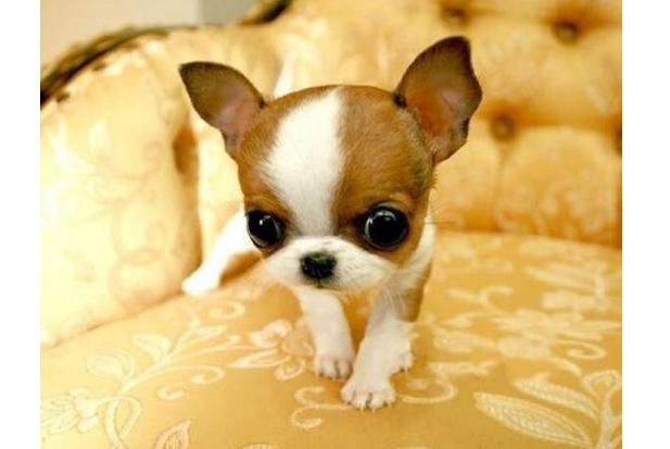 世界十大可爱狗狗 柯基排第一,哈士奇上榜