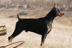 世界十大猛犬排名:杜高犬打得过野猪,你认识哪几种