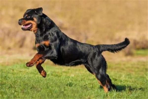 世界十大猛犬排名 杜高犬打得过野猪,你认识哪几种
