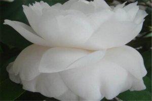 世界十大最凄美的花故事 紫藤为情而生,第八为冥界之花