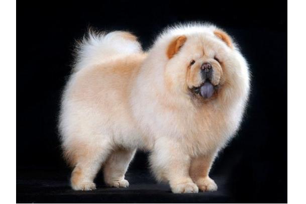 世界十大最贵的狗 罗秦犬排第一,价值4.8万元