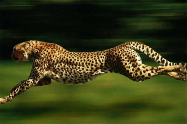 世界十大最快的动物 褐雨燕翅膀如镰刀,榜首速度秒虐好多跑车