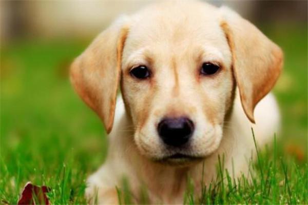 世界十大名犬智商排名 边境牧羊犬智商等同于八岁小孩