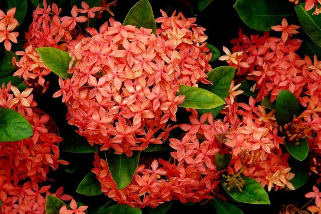 世界十大国花 老挝国花为鸡蛋花,你认识哪些