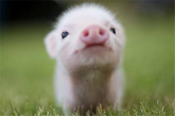 世界十大智商最高的动物 猪上榜,第三和人类DNA有99%相似之处