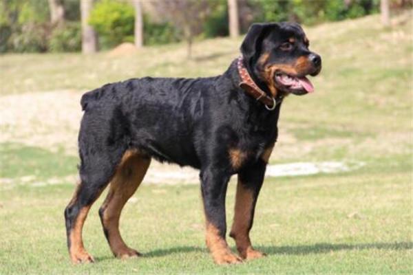 世界十大最凶猛的军犬 中国昆明犬上榜,个个凶猛无比