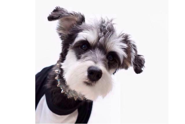 世界最记仇的5种狗 二哈上榜,吉娃娃脾气最大