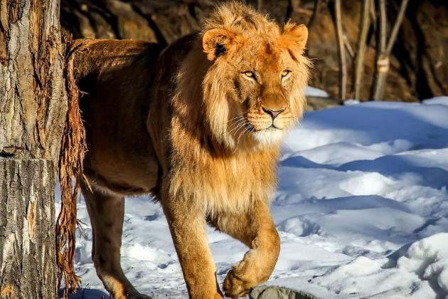 世界上最危险十大猫科动物 猎豹仅排第十,西伯利亚虎最凶猛