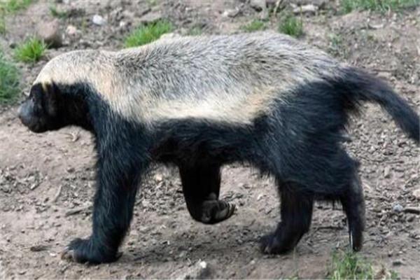 世界十大具有超能力的动物 蜂蜜獾无所畏惧,第三能控制宿主