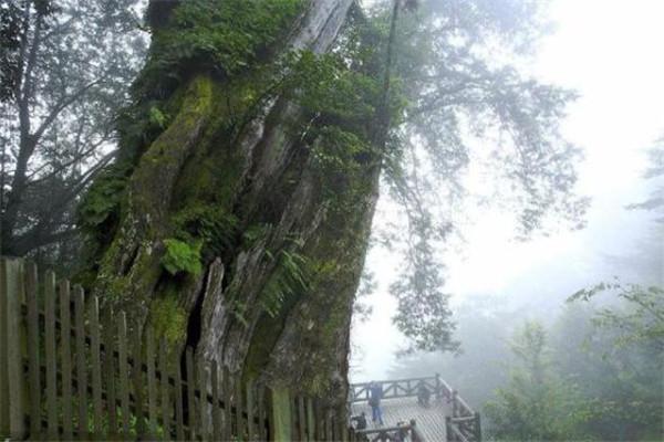 世界最贵的十大树 雅安红豆树上榜,第二被称为神树