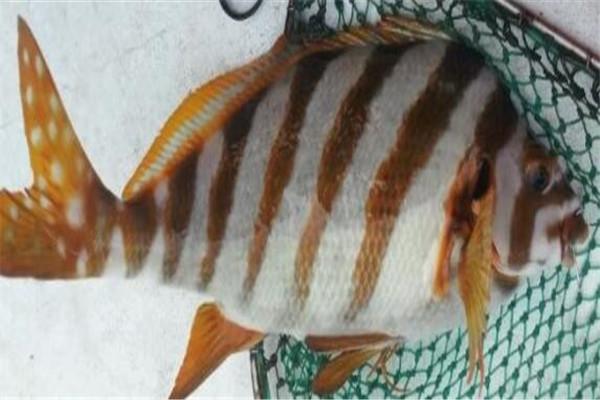 世界十大顶级食用鱼 苏丹鱼肉质嫩滑,榜首是生鱼片中的极品