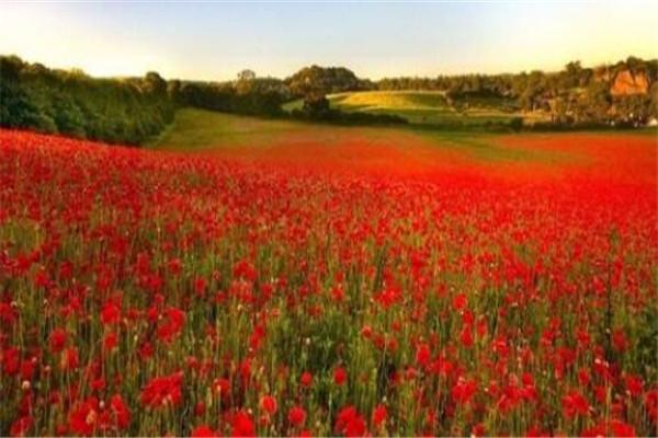 世界最著名的十大花海 普罗旺斯薰衣草园一定要去