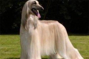 世界十大傻狗排名:哈士奇都没进前三 第1最古老的猎犬犬种