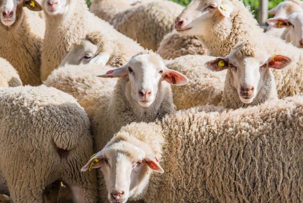世界智商最低的六大动物 绵羊上榜,第一因太蠢快灭绝