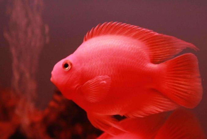 世界十大最漂亮的热带鱼 个个颜值爆表,有你喜欢的吗