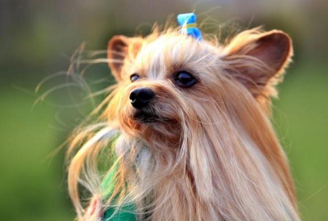 世界十大最忠诚的狗排名 秋田犬排第一,土狗上榜