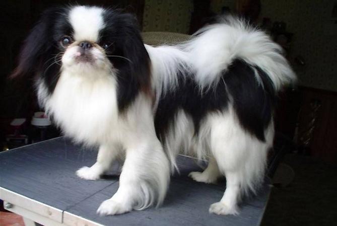世界十大最干净的狗 第三名深得慈禧宠爱,还可暖床
