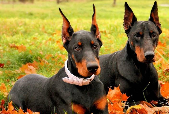 世界最聪明的十大名犬 贵宾排第二,拉布拉多仅第七