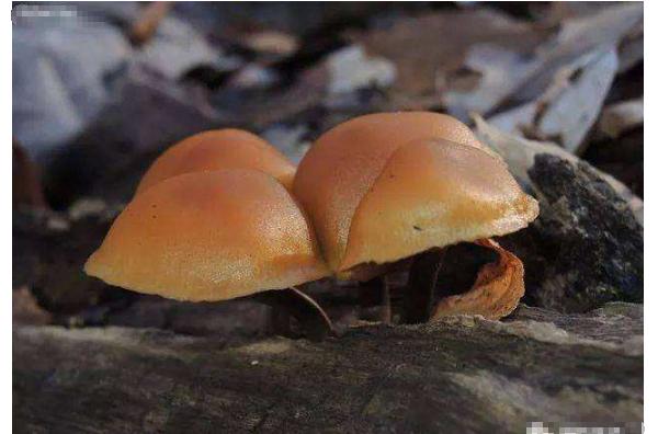 世界十大最毒的蘑菇 造成致命伤害的蘑菇,你见过几种