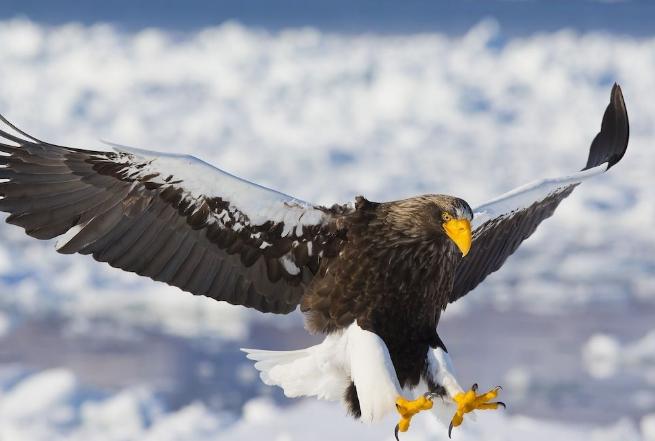 世界十大猛禽 食猿雕上榜,虎头海雕位列第一