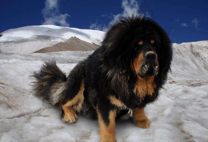 世界十大强悍的狗狗 藏獒仅列第五,第一外号战神