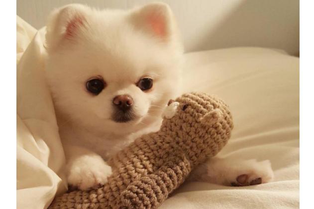 世界十大最漂亮的狗排名榜 微笑天使萨摩耶位列第一