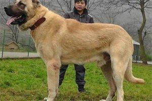 世界十大凶犬最新排名 第七被称为杀人犬,建议最好别养