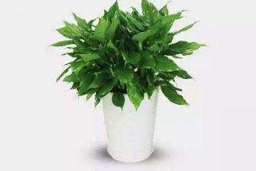 八種植物招財又旺宅 萬年青排行第一,發財樹、金錢樹上榜