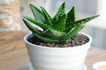 凈化室內空氣的十大盆栽 健康又美觀,虎皮蘭、常青藤上榜