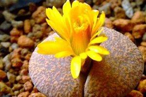 10大最稀有多肉植物 石中花、花籠和霓虹燈玉露上榜