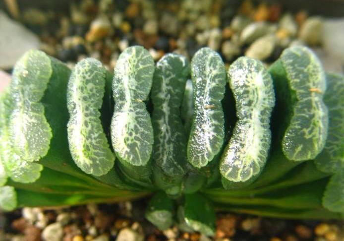 10大名贵多肉植物 最珍贵的多肉植物有哪些
