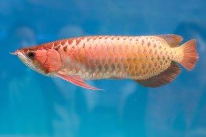 全球十大名贵观赏鱼排行榜 美得令人惊叹