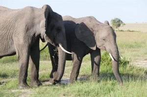 陆地最大的动物前十名 非洲象是公认的第一