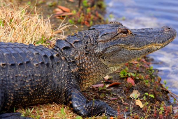 十大动物之王排行榜:十大攻击力最强动物,鳄鱼第一