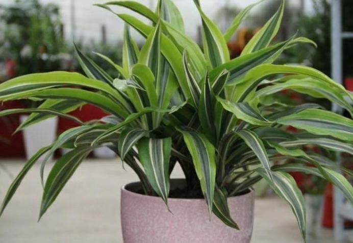 亚洲久久无码中文字幕净化空气植物排名 还你清新好空气,家中必备植物