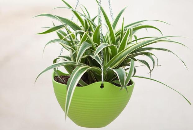 """房子刚装修或者是比较注重环保的人,都会在家里种植一些植物,能够很好的净化空气,避免甲醛问题严重影响到健康。那么今天排行榜123小编就来为大家盘点十大净化空气植物排名,感兴趣的小伙伴快来看看吧。    十大净化空气植物排名:    1、虎尾兰    2、龟背竹    3、绿萝    4、芦荟    5、吊兰    6、常春藤    7、龙舌兰    8、扶郎花    9、白掌    10、孔雀竹芋    1、虎尾兰    详细介绍:根据科学调查得知,虎尾兰是最适合放在室内的植物,因为它可以有效吸收空气中80%的有害气体,所以说如果家长刚刚装修或者是由小孩子可以选择养一盆。    2、龟背竹    详细介绍:龟背竹的颜值是非常高的,属于观赏性比较高的绿色植物,当然最重要的就是净化空气的效果非常不错,也是因此被称作是""""天然的清道夫"""".    3、绿萝    详细介绍:绿萝属于很常见的绿色植物,基本上喜欢花花草草的人家中都会备上一盆,好养还能净化空气和吸附灰尘。    4、芦荟    详细介绍:芦荟是非常好养的植物,不需要经常浇水,而且它里面的养分还具有美容的效果哦,但是 不建议直接涂抹在皮肤上,放在室内还可以很好的去除甲醛和其他有害气体。    5、吊兰    详细介绍:吊兰的颜值非常高,许多家庭在房子装修之后都会买几盆,属于又能净化空气还有观赏效果的植物,放在室内室外都可以。    6、常春藤    详细介绍:常春藤属于比较适合放在室内养的植物,因为它属于阴性,也是因此很有益于身体健康,可以很好的分解空气中的有害物质,起到净化空气的功能。    7、龙舌兰    详细介绍:龙舌兰是这所有植物当中最能耐旱的,如果是平时工作比较忙的人,可以选择这类植物,既方便也能起到改善空气的作用。    8、扶郎花    详细介绍:扶郎花的颜值是非常高的,花朵的颜色鲜艳吸引人,所以也比较受欢迎,放在家里既能欣赏还可以吸收甲醛,真的是一举两得。    9、白掌    详细介绍:白掌是一个寓意非常好的植物,有着一帆风顺的意思,比较适合送人,当然它也有着净化空气吸收甲醛的作用,但是千万不要误食哦,因为它的汁液是有毒的。    10、孔雀竹芋    详细介绍:孔雀竹芋属于比较少见的植物,可能需要到大一些的花卉市场去购买,叶子长得很好看,还能去除甲醛,放在家中是最适合不过的。"""