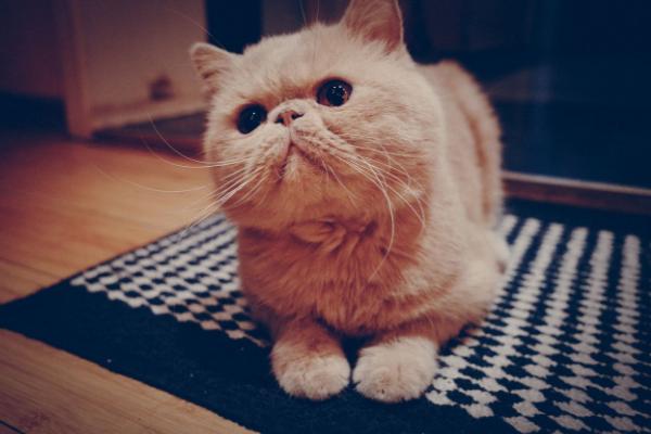 最温顺的四种寵物貓 第一名最为罕见,加菲貓上榜