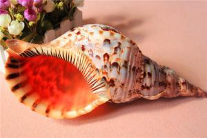 世界上最漂亮的十种贝类 世界上有哪些漂亮的贝壳