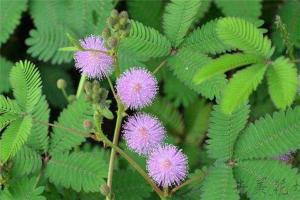 十大有趣植物 含羞草容易害羞金鱼草长得特别
