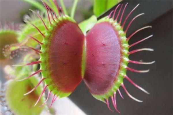 十大有趣植物