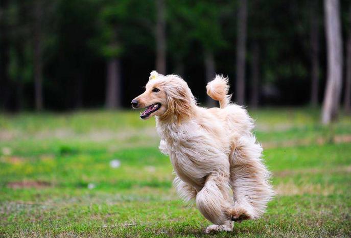 免费看成年人视频大全免费看成年人视频猎犬排行榜 比特犬最凶猛,牧羊犬最聪明
