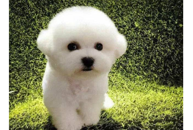 免费看成年人视频大全六大萌犬排行榜 比熊犬最受欢迎,二哈榜上有名