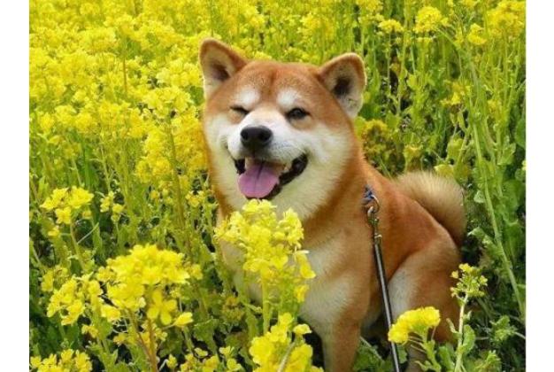 全球六大萌犬排行榜 比熊犬最受欢迎,二哈榜上有名