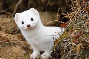 日韩在线旡码免费视频yy苍苍私人影院免费最可怕宠物 雪貂攻击性极强曾吃掉儿童手指