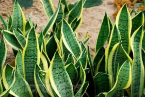 世界十大最奇特植物:千岁兰上榜,它能开出最大的花