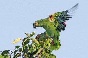 日韩在线旡码免费视频六大珍稀野生鹦鹉 蓝喉金刚鹦鹉数量少需人工喂养繁殖