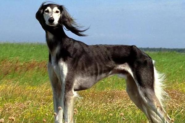 世界上最贵的十只狗,捷克狼犬似狼非狼体力超强颇为神秘
