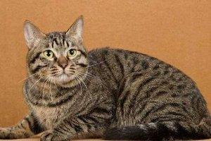 世界十大最适合新手养的猫 中国狸花猫独立性很强