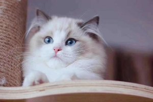 世界十大最粘人的猫 布偶猫不能忍受孤单缅因猫外表粗犷