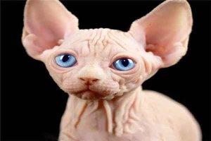 """世界十大最奇异的猫:波斯猫颜值高 泰国""""白色宝石""""上榜"""